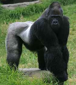 Macho adulto de gorila do occidente. .(Gorilla gorilla)