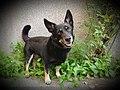 Mali međimurski pas.jpg