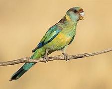 Mallee ringneck - Patchewollock Conservation Reserve.jpg