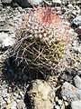 Mammillaria carnea (5754336656).jpg