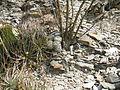 Mammillaria parkinsonii (5780089429).jpg