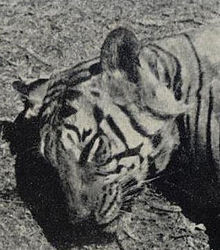 body of the tiger of segur killed by ken h anderson on the banks of