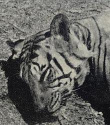 Tiger attack - Wikipedia