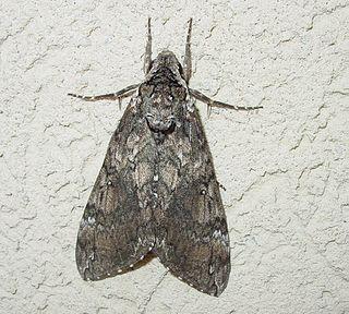 <i>Manduca sexta</i> Species of moth