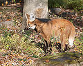 Maned Wolf 3, Beardsley Zoo, 2009-11-06.jpg