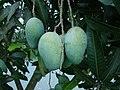Mango Bangladesh.JPG