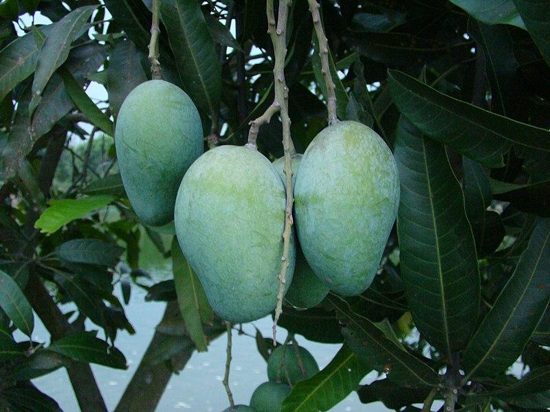 File: Mango Bangladesh.JPG