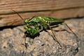 Mantis-Oman.jpg
