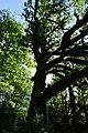 Maple tree sun rays scenic forest Quinault d archuleta 2015 (23060429232).jpg