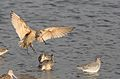 Marbled godwit, Limosa fedoa, Moss Landing (Elkhorn Slough and beach), California, USA. (30941298275).jpg