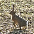 March Hare - geograph.org.uk - 1508075.jpg