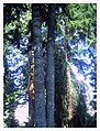 March Spring Redwood 80 Mtr Botanischer Garten Freiburg - Master Botany Photography 2013 - panoramio.jpg