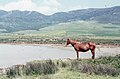 Mare and foal. River mouth. Puerto Palomas. Andalusia. 1975 (37756743351).jpg