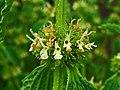 Marrubium vulgare 003.JPG