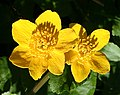 Marsh Marigold (Caltha palustris) - geograph.org.uk - 415092.jpg