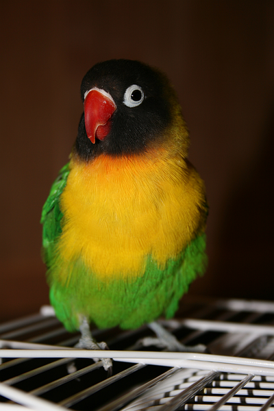 Berkas:Masked Lovebird (Agapornis personata) pet on cage.png