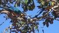 File:Mato Grosso - Araras Caninde.webm