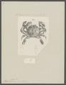 Matuta lessueri - - Print - Iconographia Zoologica - Special Collections University of Amsterdam - UBAINV0274 096 04 0002.tif