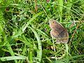 Meadow Brown (Maniola jurtina) (7637945692).jpg