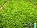 Medicinal plant , farm Research of KHORRAMAN Pharmaceutical co. - panoramio.jpg
