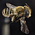 Megachile rotundata, male, side 2012-06-12-15.21 (18624073821).jpg
