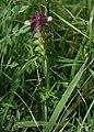 Melampyrum cristatum 1.jpg