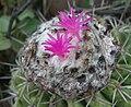 Melocactus curvispinus curvispinus (2).jpg