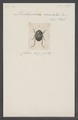 Menthophilus - Print - Iconographia Zoologica - Special Collections University of Amsterdam - UBAINV0274 019 05 0004.tif