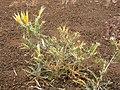 Mentzelia laevicaulis (4367581013).jpg