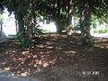 Mercurys trees 15.7.2005 395.jpg