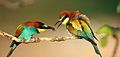 Merops apiaster (1).jpg
