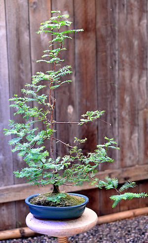 Metasequoia glyptostroboides - Metasequoia glyptostroboides (dawn redwood) bonsai tree