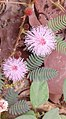 Mimosa pudica (Touch-me-not or sensitive plant) flowers.jpg
