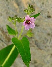 Mirabilis oxybaphoides 3