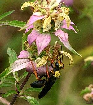 Monarda - Wasp (Sphex sp.) pollinating M. punctata