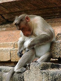Monkey at Sri Ranganathaswamy Temple - Near Mysore - India.JPG