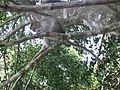 Monkey from wayanad (6).JPG
