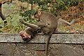 Monkey grooming 01.JPG
