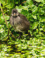 Moorhen chick having a paddle.jpg