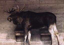 Moose Skane Sweden.jpg