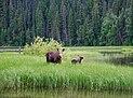 Moose in Bowron Lake Provincial Park, BC (DSCF3986).jpg