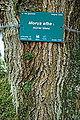 Morus alba-DSC 7332.jpg