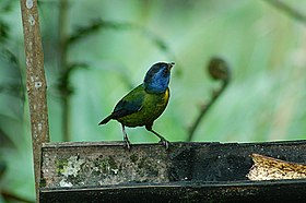 Moss-backed Tanager 2015-06-07 (14) (26445403128).jpg