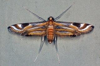 <i>Eoophyla</i> Genus of moths