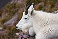 Mountain Goat, Logans Pass (4176998546).jpg