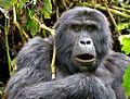 Mountain Gorilla,Bwindi, Uganda (15135296098).jpg