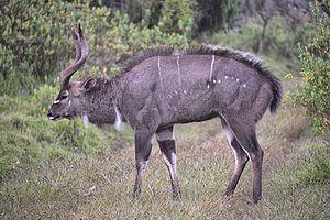 Mountain nyala - Male in Ethiopia