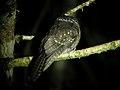 Mountain Owlet-Nightjar (2880009524).jpg