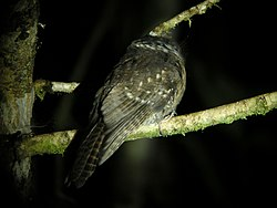 Mountain Owlet-Nightjar (2880009524).jpg