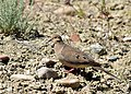 Mourning dove on Seedskadee National Wildlife Refuge (35284783882).jpg